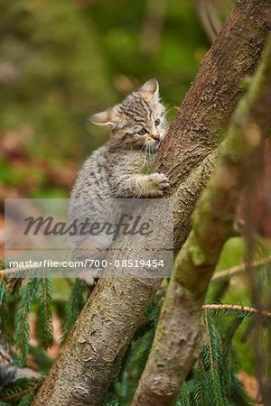 Portrait of European Wildcat (Felis silvestris silvestris) Kitten in Bavarian Forest in Spring, Bavaria, Germany