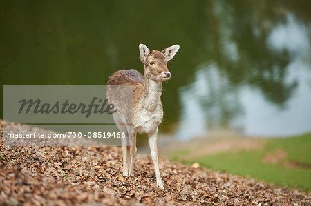 Portrait of Female Fallow Deer (Dama dama) in Meadow in Spring, Wildpark Schwarze Berge, Lower Saxony, Germany