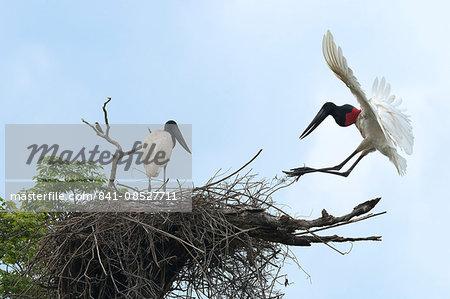 Jabiru (Jabiru mycteria) in flight over its nest, Pantanal, Mato Grosso, Brazil, South America