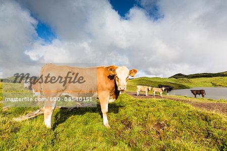 Herd of Cows by Lake do Capitao near Mount Pico, Sao Roque do Pico, Pico Island, Azores, Portugal