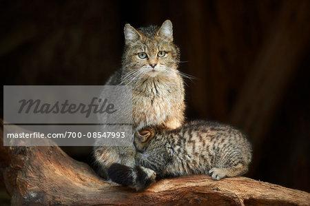Portrait of European Wildcat (Felis silvestris silvestris) Mother with Kitten in Spring, Bavarian Forest, Bavaria, Gemrany