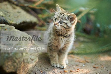 Portrait of European Wildcat (Felis silvestris silvestris) Kitten in Spring in Bavarian Forest, Bavaria, Germany