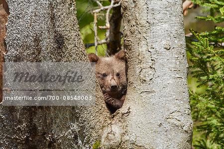Portrait of Eurasian Brown Bear (Ursus arctos arctos) Cub in Spring in Bavarian Forest, Bavaria, Germany