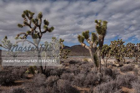 Joshua trees growing in dry landscape