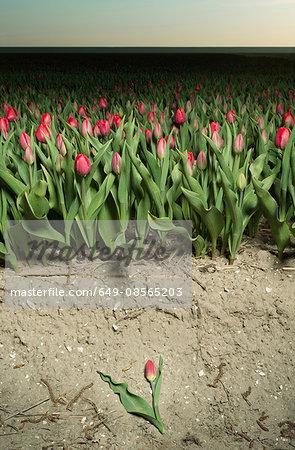 Edge of tulip field, Espel, Noordoostpolder, Netherlands