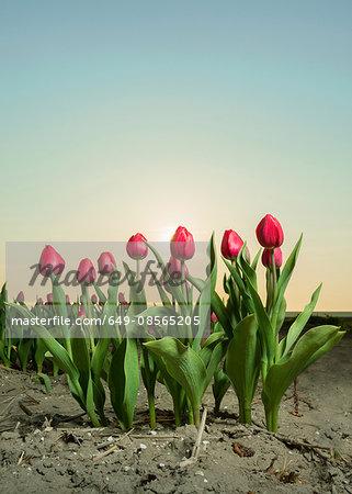 Close up of tulip field, Espel, Noordoostpolder, Netherlands