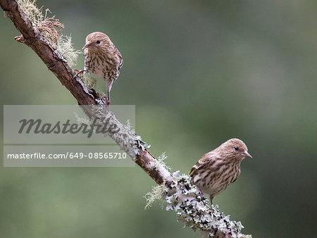 Two Pine Siskins, Carduelis pinus, Forest Knolls, California, USA