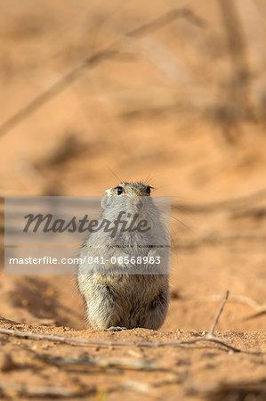 Brant's whistling rat (Parotomys brantsii) in the Kalahari, Kgalagadi Transfrontier Park, Northern Cape, South Africa, Africa