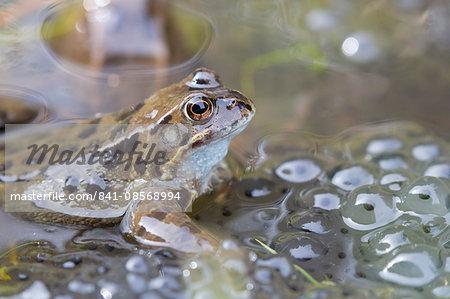Common frog (Rana temporaria) in spawning pond, Northumberland, England, United Kingdom, Europe