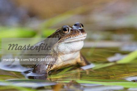 Common frog (Rana temporaria), Northumberland, England, United Kingdom, Europe