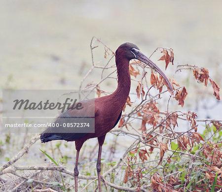 Glossy Ibis in Florida Wetlands