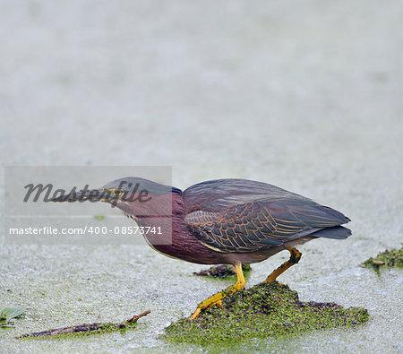 Green Heron in Florida Wetlands