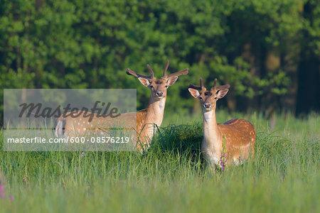 Male Fallow Deers (Cervus dama) in Summer, Hesse, Germany