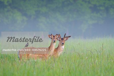 Fallow Deers (Cervus dama) in Summer, Hesse, Germany