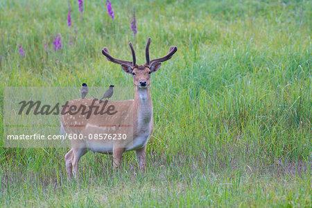 Male Fallow Deer (Cervus dama) with Starlings on it's Back, Hesse, Germany