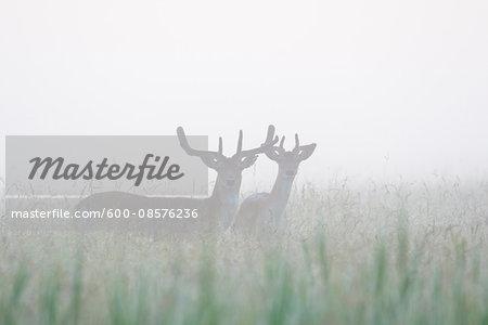 Male Fallow Deers (Cervus dama) on Misty Morning, Hesse, Germany