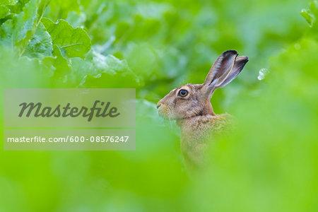 European Brown Hare (Lepus europaeus) in Sugar Beet Field in Summer, Hesse, Germany