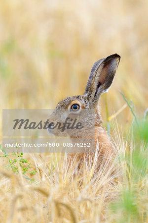 European Brown Hare (Lepus europaeus) in Grain Field, Hesse, Germany