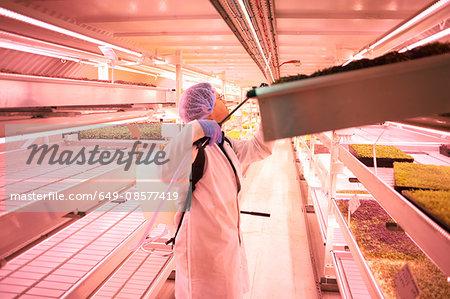 Male worker spraying tray of micro greens in underground tunnel nursery, London, UK