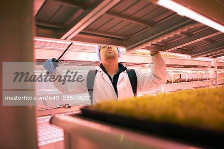 Male worker reaching to spray micro greens in underground tunnel nursery, London, UK