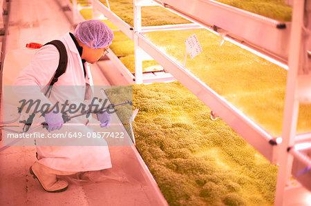 Male worker kneeling to spray tray of micro greens in underground tunnel nursery, London, UK