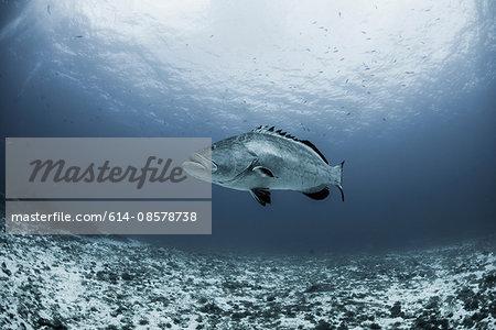 Black grouper (Mycteroperca bonaci) swimming over reef, Cozumel, Quintana Roo, Mexico