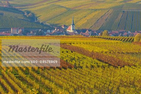 Colorful Vineyards in Autumn, Escherndorf, Maininsel, Alte Mainschleife, Mainfranken, Franconia, Bavaria, Germany