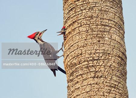Male Pileated Woodpecker Feeding his Babies