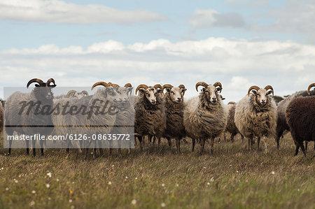 Sweden, Gotland, Flock of sheep on meadow