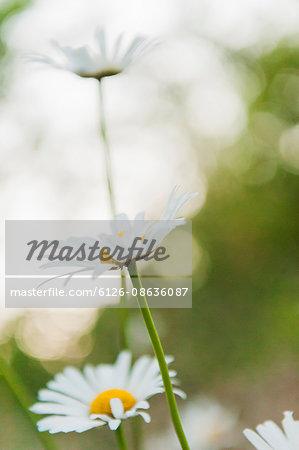 Sweden, Daisy flower (Leucanthemum vulgare) in meadow
