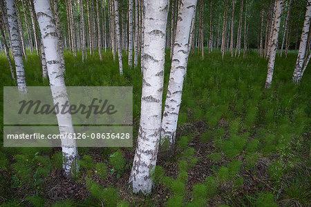 Sweden, Halsingland, Voxnan, Betula forest