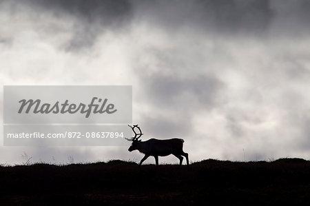 Reindeer (Rangifer tarandus) silhouette on the tundra in autumn, Jamtland, Sweden, Scandinavia