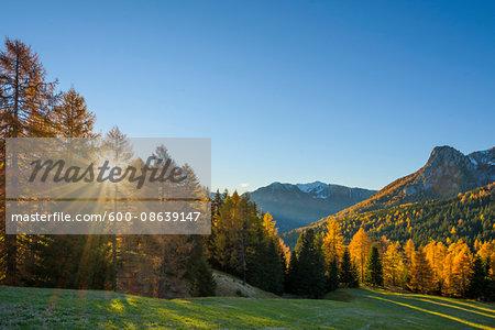 Mountain with beautifully colored larches and sun, Vigo di Fassa, Dolomites, Trentino-Alto Adige, South Tirol, Italy, Europe