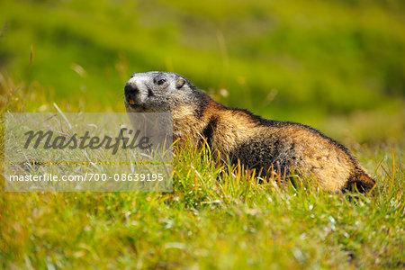 Portrait of Alpine Marmot (Marmota marmota) in Meadow, Hohe Tauern National Park, Grossglockner High Alpine Road, Carinthia, Austria