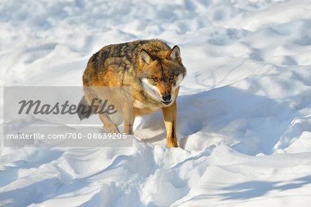 Portrait of Wolf (Canis lupus) in Snow, Neuschonau, Bavarian Forest National Park, Bavaria, Germany