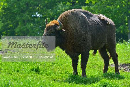 Portrait of Wisent (Bison bonasus) Bull in Spring, Germany