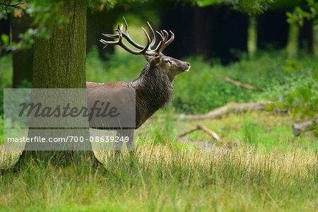 Portrait of Red Deer (Cervus elaphus) during Rutting Season, Hesse, Germany