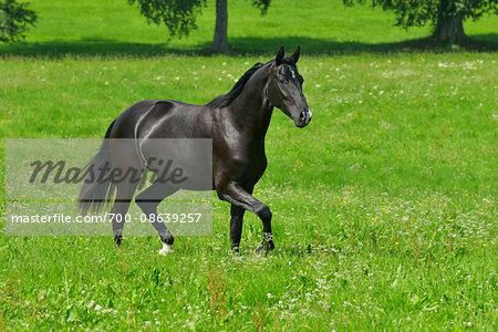 Oldenburg Horse Running on Meadow in Summer, Bavaria, Germany