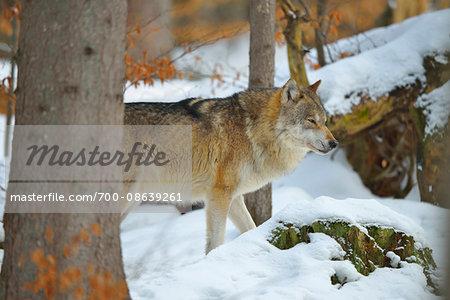 Portrait of Wolf (Canis lupus) in Winter, Neuschonau, Bavarian Forest National Park, Bavaria, Germany