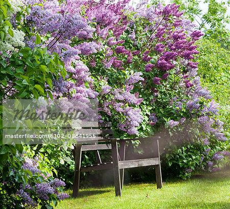 Wooden bench near flowering lilacs