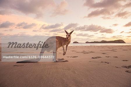Australia, Queensland, Cape Hillsbourgh, Kangaroo (Macropus) on beach at sunset