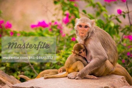 Wild monkeys, Jaipur, Rajasthan, India, Asia