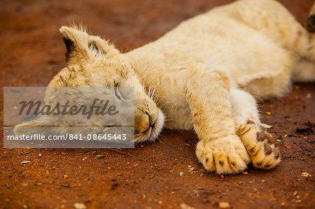 Baby lion at Kruger National Park, Johannesburg, South Africa, Africa