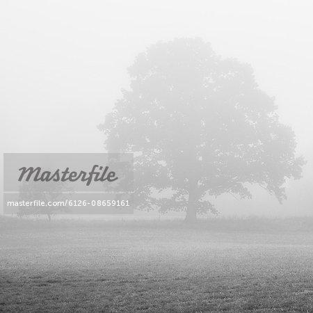 Sweden, Skane, Silhouette of English Oak (Quercus robur) in meadow in fog