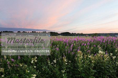 Sweden, Vasterbotten, Umea, Roback, Purple wildflowers in field at sunset