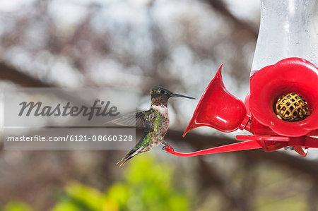 Broad-tailed hummingbird perching on artificial red flower, Samara, Costa Rica