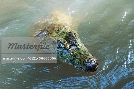 Caiman (Caimaninae) in a lake, Orinoco Delta, Venezuela