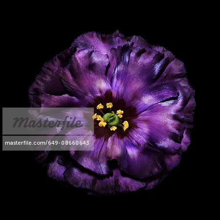Purple flower head against black background