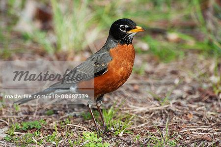 Male american robin in spring