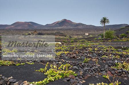 Ground level vineyards in La Geria region, Lanzarote
